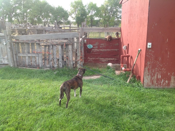 Fiji stares at the goats moments before trying to jump over the fence.