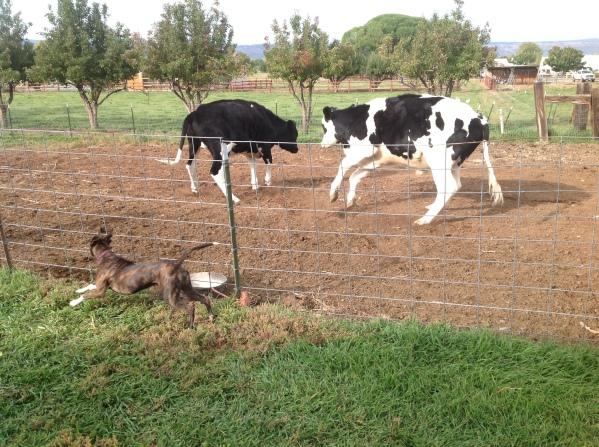 Fiji barks at and runs after cowns through fencing.  Cows leap off.
